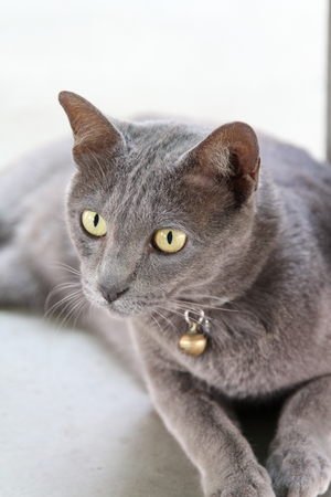 miniature breed: Gray cat sitting on concrete floor.