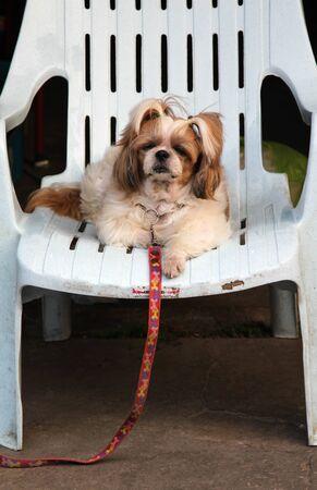 White and brown female Shih Tzu dog sitting on blue plastic chair.