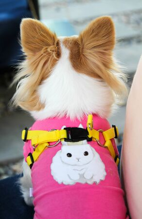 White and brown female Chihuahua dog in pink clothing.