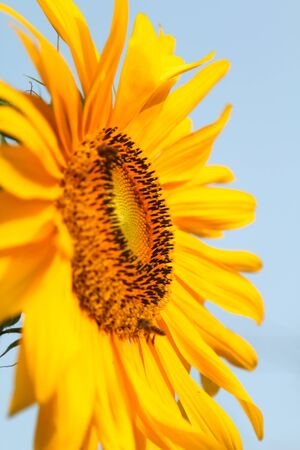 Close-up view of blooming sunflower and honey bees. Reklamní fotografie