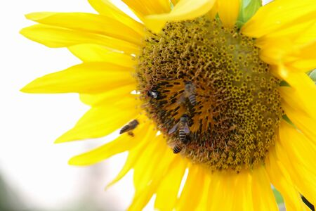 Close-up view of blooming sunflower and honey bees.