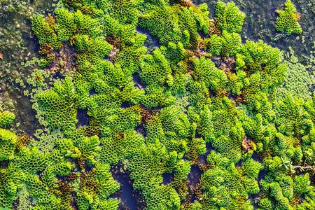 Green aquatic plant ecology of the fish