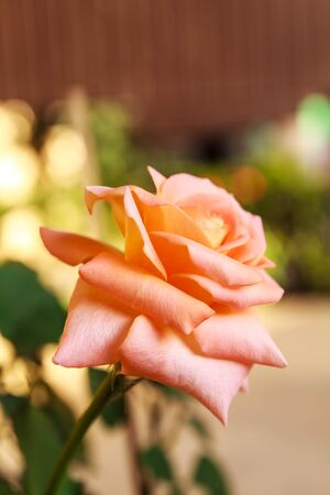drenched: Pink rose of brightly colored flower drenched with water. Stock Photo