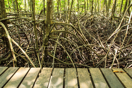 bridge over water: Mangrove trees natural tropical forests in Thailand. Stock Photo