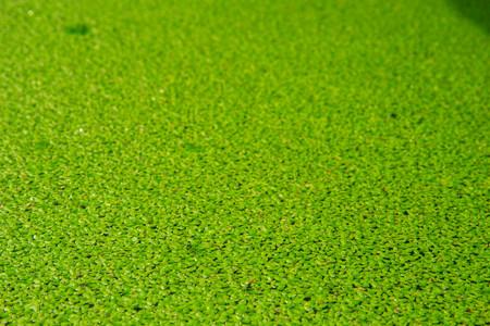 Live Aquarium Floating Plants or Dwarf Water Lettuce 写真素材