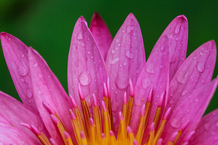 Pink Yellow Lotus flower and Lotus flower plants , water