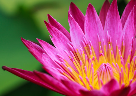 Pink Yellow Lotus flower and Lotus flower plants , water