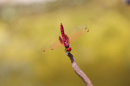 Red dragonfly crocothemis erythraea performing equilibrium from a small pointy branch, on natural green background and with its wings fully extended Banco de Imagens
