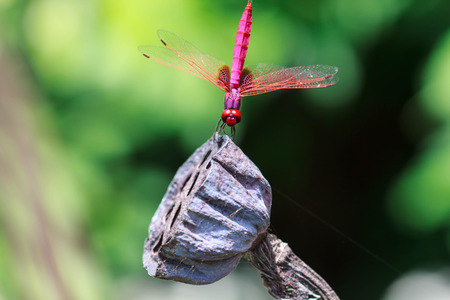 Dragonfly holding on dryed lotus stick