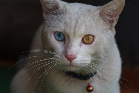 A male white cat with odd eyes, yellow and blue Stok Fotoğraf