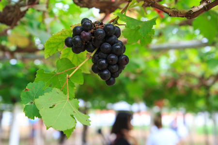 ripe grapes hanging on tree. Banque d'images - 122591660