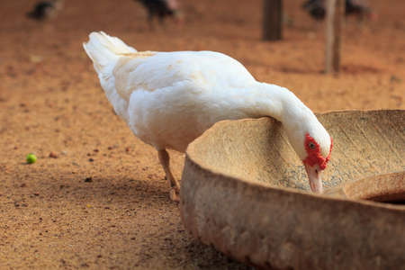 White  duck  eating food in the tray. 版權商用圖片