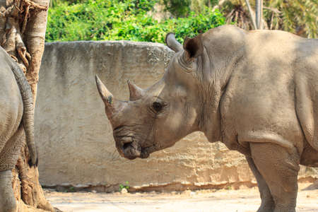 Rhinoceros in khao Khiao Zoo at Thailand