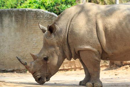 Rhinoceros in khao Khiao Zoo at Thailand
