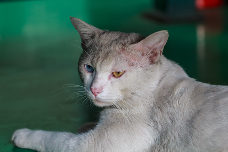 A male white cat with odd eyes, yellow and blue Imagens