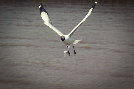 Seagull flying and landing with open wings on the sea. Banco de Imagens