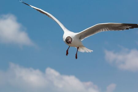 Seagull flying and landing with open wings on the blue sky. Banco de Imagens
