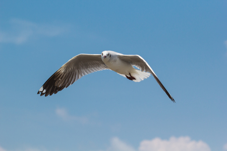 Seagull flying and landing with open wings on the blue sky.