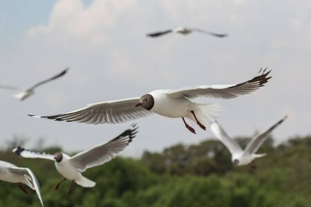 The flock of seagulls flying near the sea and Mangroves