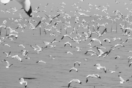 Monochrome The flock of seagulls flying near the sea