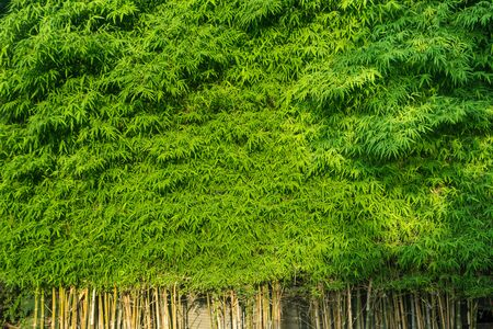 Bamboo green leaves and stems are the background