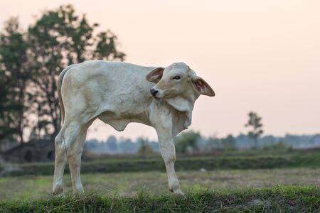 Standing newborn calf in green grass with field in thailand Stock Photo