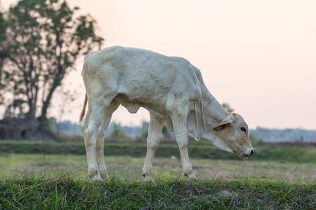 Standing newborn calf in green grass with field in thailand Banco de Imagens