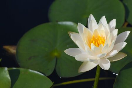 Focus white lotus plants flower