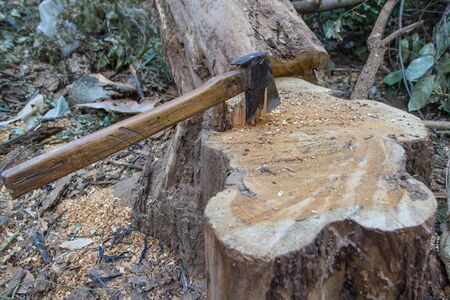 Axe and stumps on the ground. Background tree is cut.