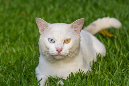 A white cat odd eyes, yellow and blue squat on the green grass lawn Banque d'images