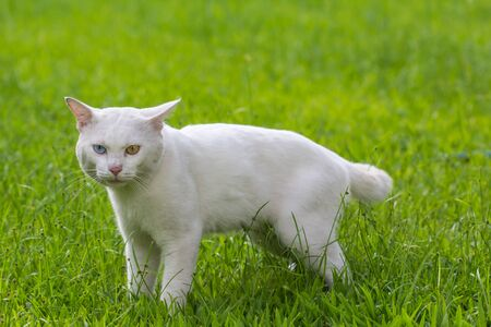 A white cat odd eyes, yellow and blue standing on the green grass lawn Banque d'images