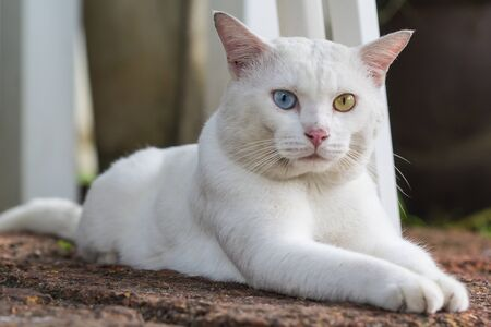 A white cat odd eyes, yellow and blue squat on the stone