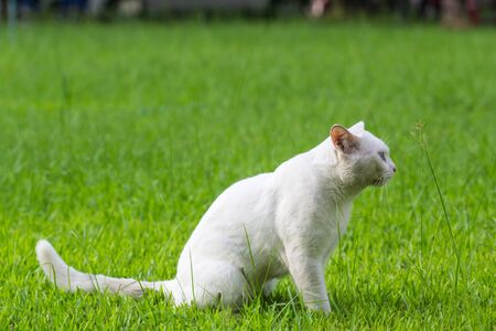 A white cat odd eyes, yellow and blue standing on the green grass lawn Standard-Bild