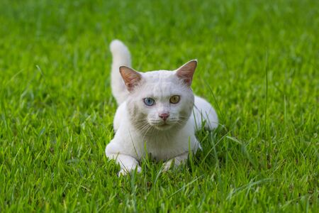 A white cat odd eyes, yellow and blue squat on the green grass lawn Standard-Bild