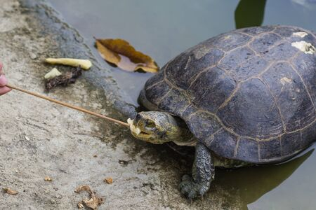 turtle eat banana in the pond Standard-Bild
