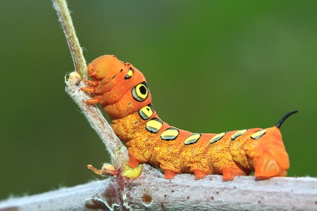 The orange caterpillars.