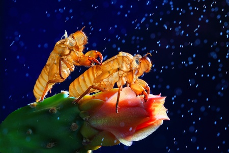 cast off: Cicada slough on a blue background. Stock Photo