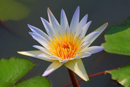 watergarden: White lotus.