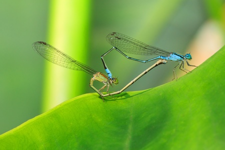 mating colors: Love of cute dragonfly Stock Photo