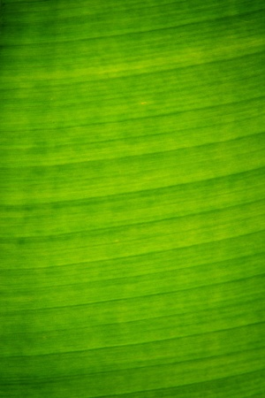 Banana leaf Stock Photo - 10901311