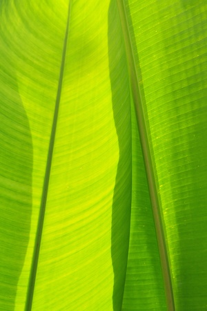 Banana leaf photo