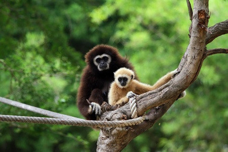 handed gibbon: Two white handed Gibbon or Lar Gibbon