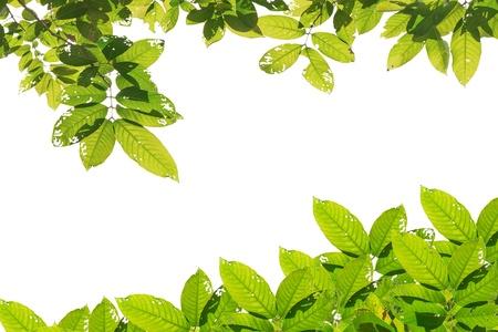 흰색 배경에 녹색 잎 스톡 콘텐츠 - 11062794
