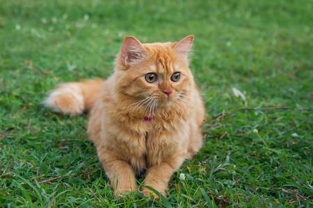 persian green: persian cat on the green field Stock Photo
