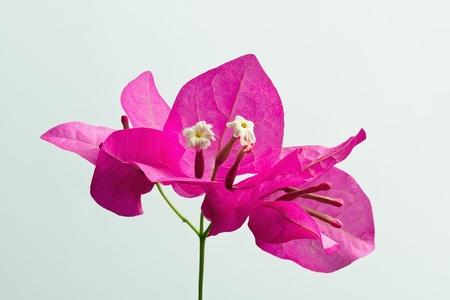ornamentations: un mazzo di fiori bouganville su uno sfondo bianco