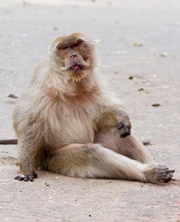 The old monkey. photo