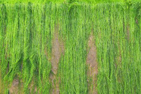 A green and fresh moss on a beach photo