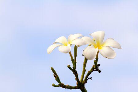 white and yellow frangipani flowers  photo