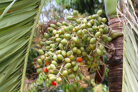 areca or betel palm nut in nature