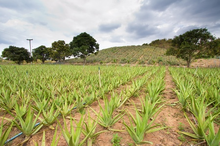 Fresh aloe vera in the farm